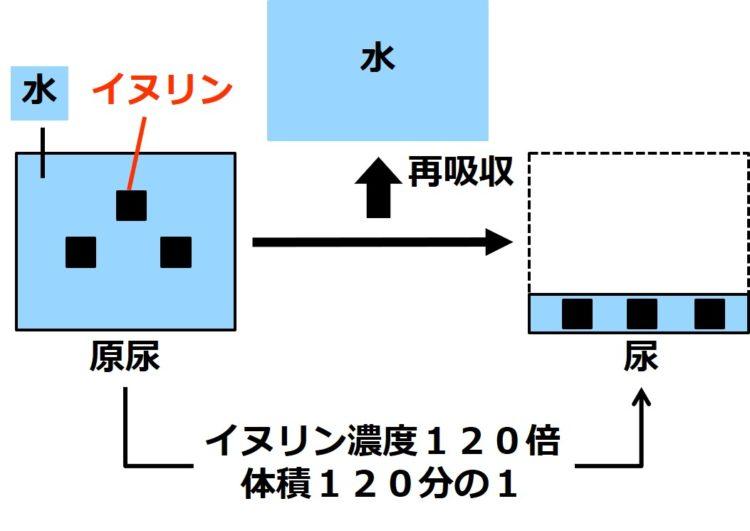原尿を示す大きい四角内に、イヌリンを示す黒い小さな四角が3つ描いてある。また、尿を示す小さな四角内に、イヌリンを示す黒い小さな四角が3つ描いてある。尿のイヌリン濃度は原尿の120倍で、尿の体積は原尿の体積の120分の1である。