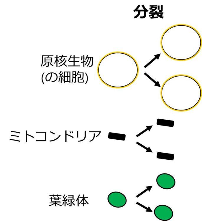 左側に、原核生物の細胞、ミトコンドリア、葉緑体が1個ずつ描いてある。それぞれが、分裂によって2個になった図が右側に描かれている。