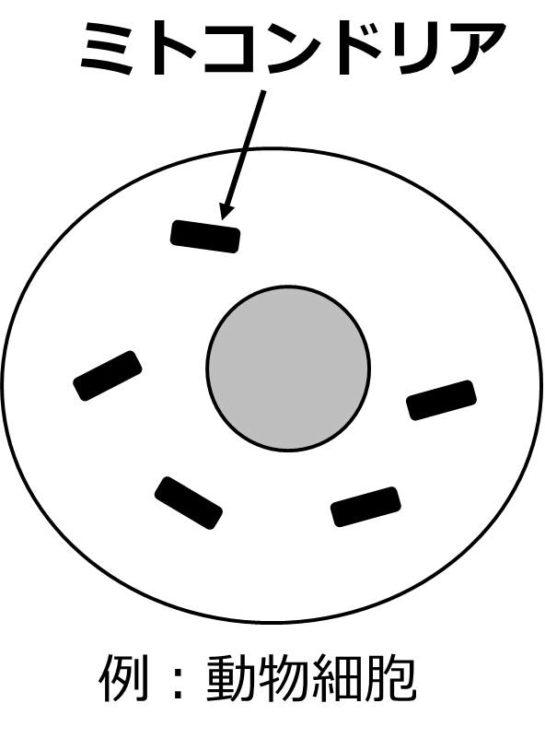 球形の動物細胞内に、短い棒状のミトコンドリアが描かれている。