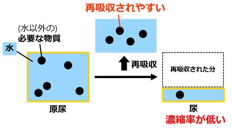 原尿が大きい四角、尿が小さい四角で描いてある。原尿の大きい四角内には、体に必要な物質が5つ、丸で描いてあり、このうち、4つが再吸収され、1つが、尿の小さい四角内に描かれている。次の図の、老廃物と比べ、尿中に残る個数が少なく、尿縮率が低い。