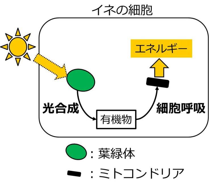 長方形で描かれたイネの細胞内に、楕円形の葉緑体と短い棒状のミトコンドリアが描いてある。葉緑体に光があたり、光合成によって有機物ができ、この有機物が細胞呼吸の過程でミトコンドリアに取り込まれ、エネルギーが生じることを、矢印を用いた流れずで示されている。