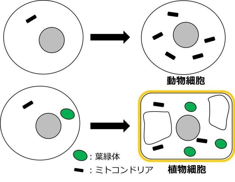 ミトコンドリアをもつ細胞が動物細胞に至る様子と、ミトコンドリアと葉緑体をもつ細胞が植物細胞に至る様子を描いた図。動物細胞は、内部に核とミトコンドリアが描かれているのみだが、植物細胞は、核と葉緑体とミトコンドリアの他、以前の記事で扱った液胞、細胞のまわりを囲む細胞壁が描かれている。