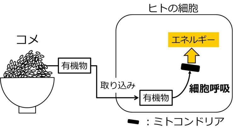 大盛りのご飯の図と、長方形で描かれたヒトの細胞の図が描いてある。このご飯に含まれる有機物が、細胞に入り、細胞呼吸の過程でミトコンドリアに取り込まれてエネルギーが取り出されることを、矢印を用いた流れずで示してある。