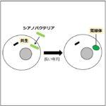 球状の細胞にシアノバクテリアが取り込まれて共生し、やがて葉緑体に変化する様子を描いた図