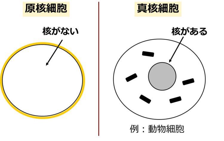 真核細胞内には、球状の核が描かれているが、原核細胞内には描かれていない。