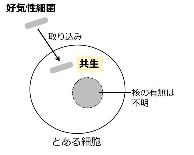 細長い棒状の好気性細菌が、大きな球状の細胞に取り込まれる様子を描いた図。球状の細胞内には、点線で核を描いてある。核の有無が不明であるため、点線で描いてある。
