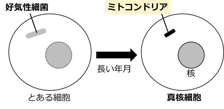 球形の細胞内に共生している、細長い棒状に描かれた好気性細菌が、長い年月を経て、短い棒状で描かれたミトコンドリアになる様子を描いてある。