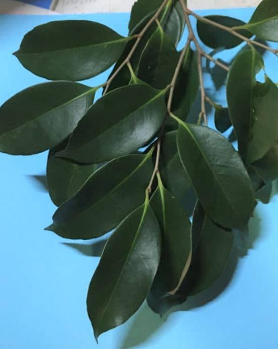 スダジイの葉の写真