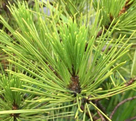 針葉樹の葉の写真