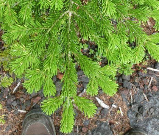 モミ類の葉