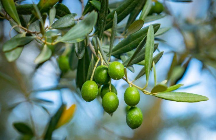 オリーブの木、葉と果実の写真