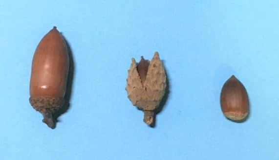 左のドングリは、実が何にも包まれていない。中央のドングリは、実全体が薄茶色の厚い皮で包まれている。その皮をとると、右側のような実が取り出せ、その見た目は、左側のドングリの実と、大きさ以外はあまり変わらない。