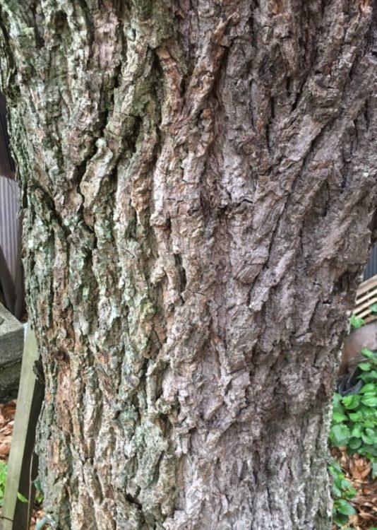 スダジイの樹皮の写真
