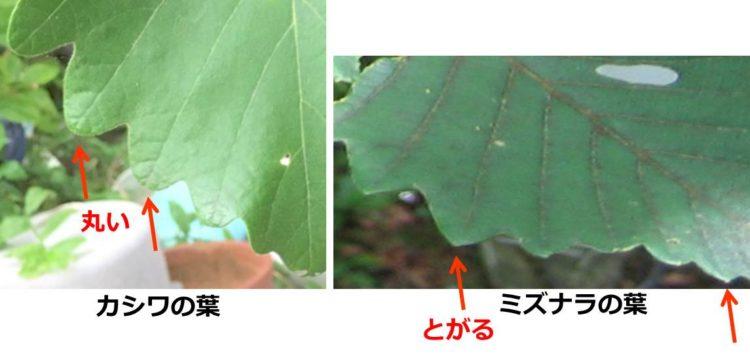 カシワの葉とミズナラの葉の先端の比較写真