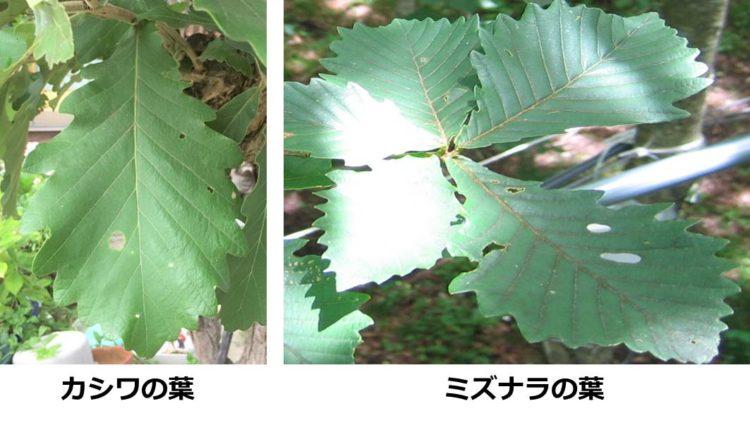 カシワの葉とミズナラの葉