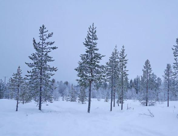 針葉樹の写真