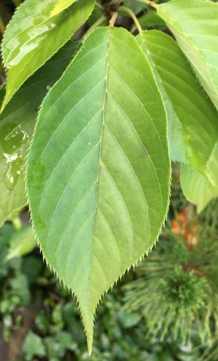 広葉樹の葉の写真