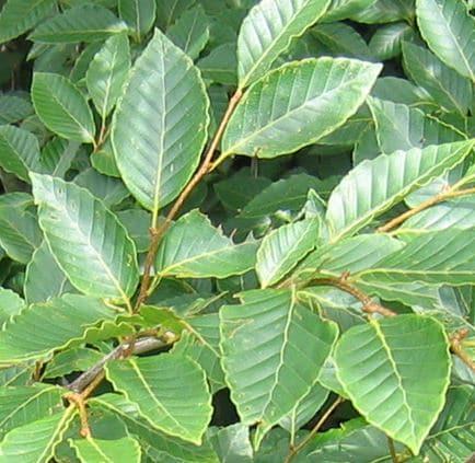 ブナの葉の写真