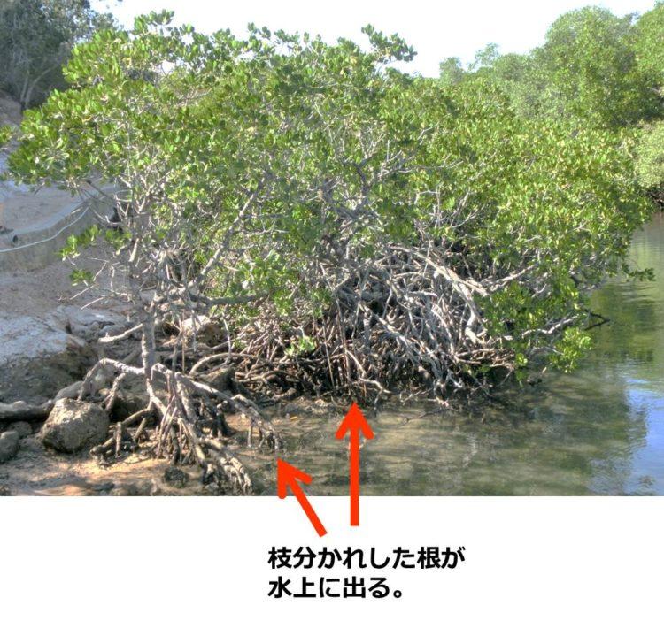 ヒルギ類の一種の写真。タコ足状の根が水上に出る。