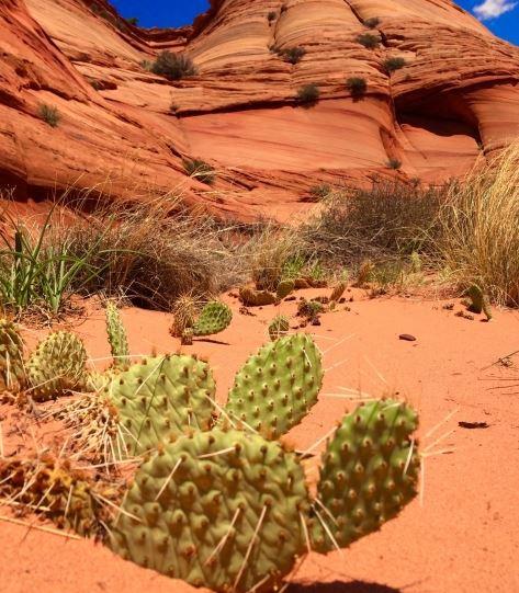 ウチワサボテンが点々と生育する砂漠の写真