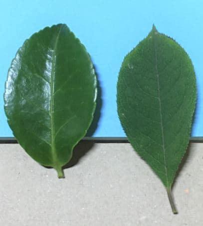2枚の葉を比べた写真。クチクラ層の厚い葉は光を反射してテカテカしているが、クチクラ層の薄い葉はテカテカしていない。