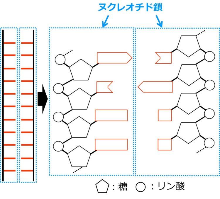DNAのヌクレオチド鎖を描いた図