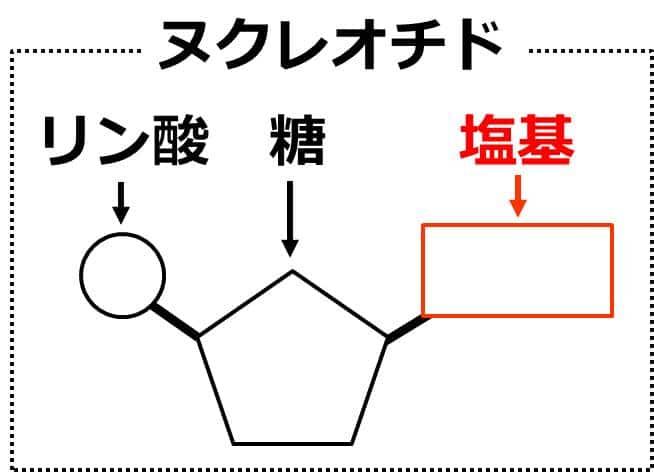 ヌクレオチドの図。五角形の糖の右側に四角く描かれた塩基が結合し、左側には円形で描かれたリン酸が結合している。