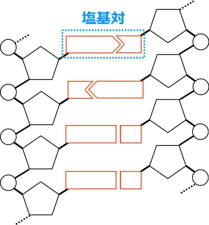 塩基対の図。2つのヌクレオチドの塩基同士が結合しており、これらの結合した塩基をあわせたものが塩基対であることを描いてある。