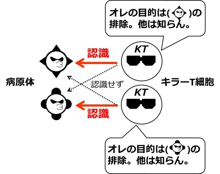 2種類の病原体と、2つのキラーT細胞が描いてある。2つのキラーT細胞は、それぞれ1つの病原体だけを認識するということを病原体に向けられた1本の矢印で描いてある。