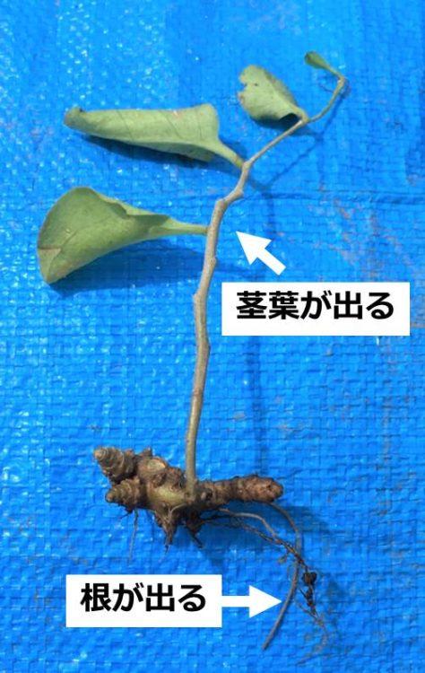 根と茎葉が出たむかご