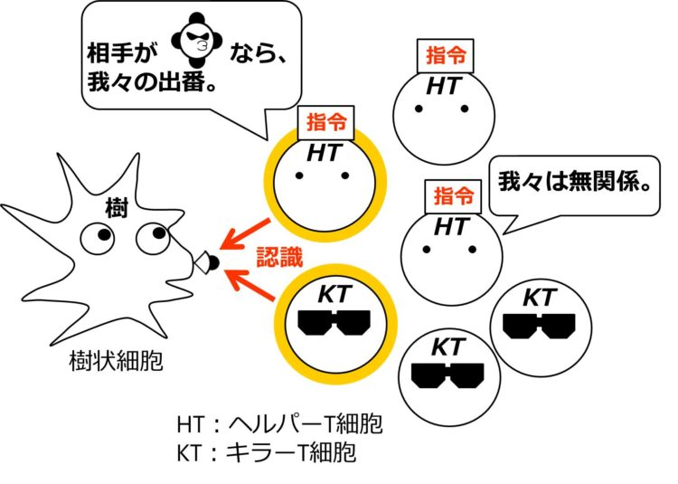 複数のヘルパーT細胞とキラーT細胞が描いてあるが、抗原を認識できるヘルパーT細胞、キラーT細胞1つずつが活性化している図。