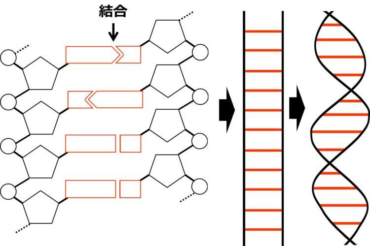 二重らせん構造の図
