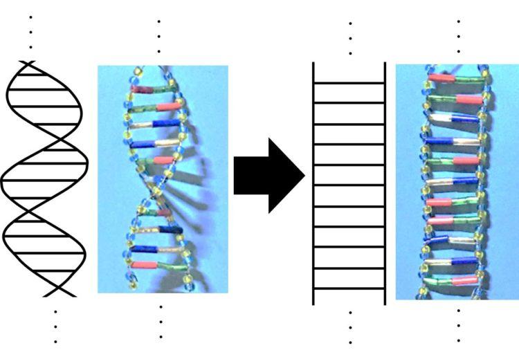 DNAのらせんをほどいて、はしご形で描いた図