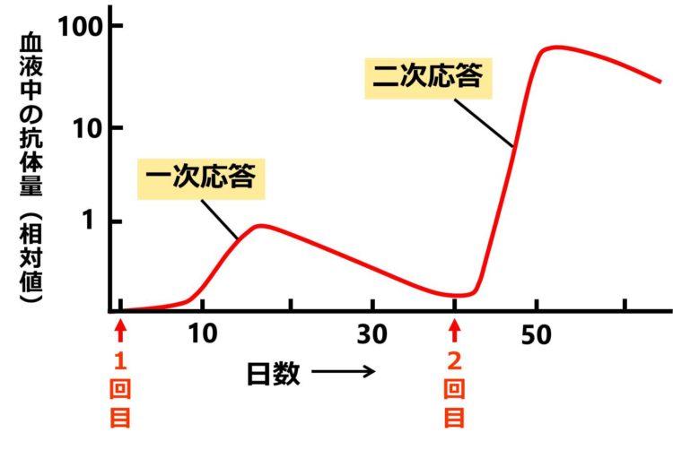 一次応答と二次応答のグラフである。縦軸に抗体量、横軸に経過日数をとってある。1回目注射後、1週間ほどで抗体量が増え始め、縦軸の値1の程度で最大値となり、その後は抗体量が徐々に減少する。これが一次応答のグラフである。2回目の注射後は、直ちに抗体量が増え始め、最大値は70近くになる。これが二次応答のグラフである。