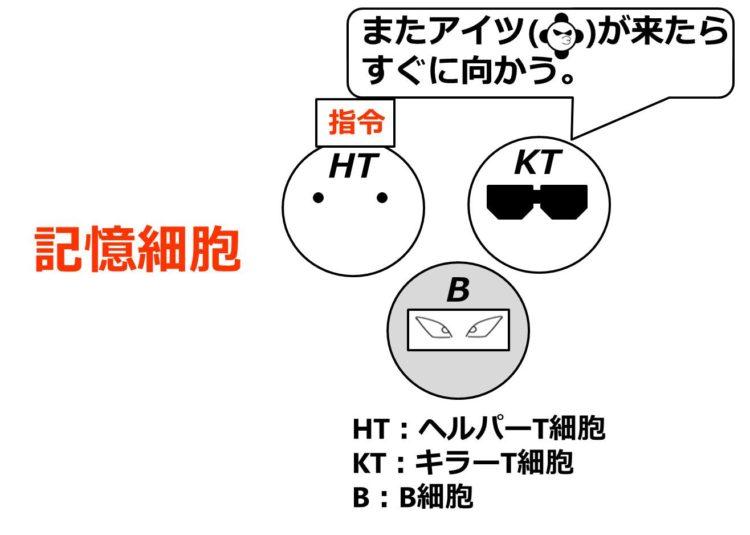 記憶細胞の図。ヘルパーT細胞、キラーT細胞、B細胞が描いてあり、キラーT細胞が「またアイツ(同じ病原体)が来たらすぐに向かう」と言っている。