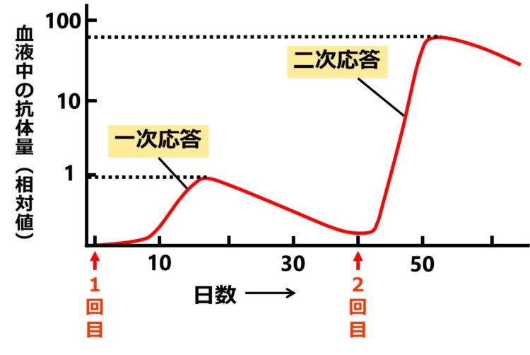 抗体量の最大値は、一次応答では、縦軸の値で1、二次応答では70程度。