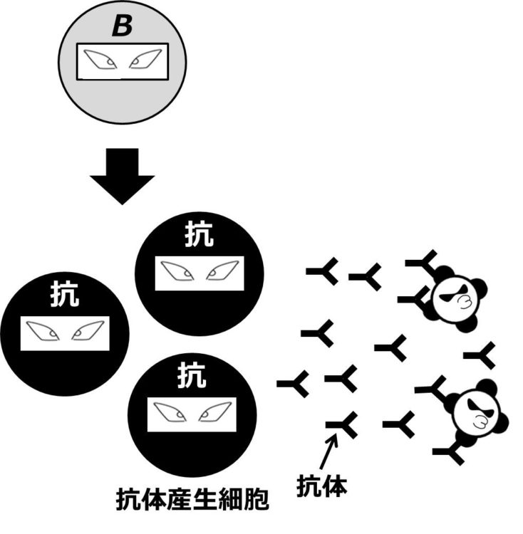 灰色の忍者風に描かれたB細胞が、黒色の忍者風に描かれた抗体産生細胞に変化し、Yの字の形をした抗体を大量に放出している。いくつかの抗体が、病原体にくっついている。