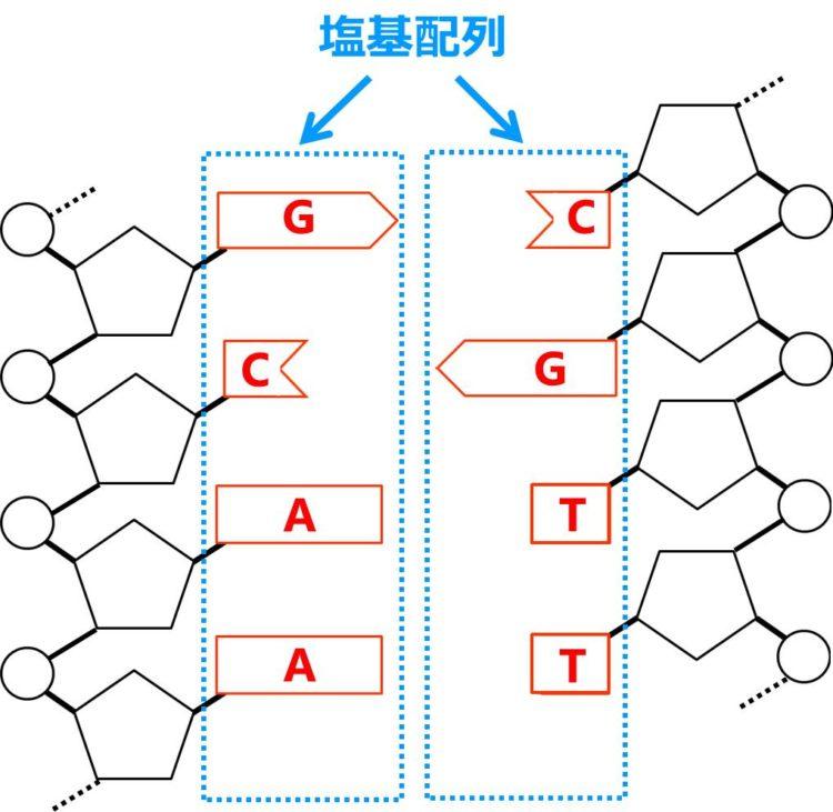 DNAの塩基配列の部位を示した図。