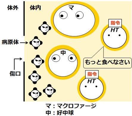 ヘルパーT細胞がマクロファージと好中球を活性化する様子を描いた図
