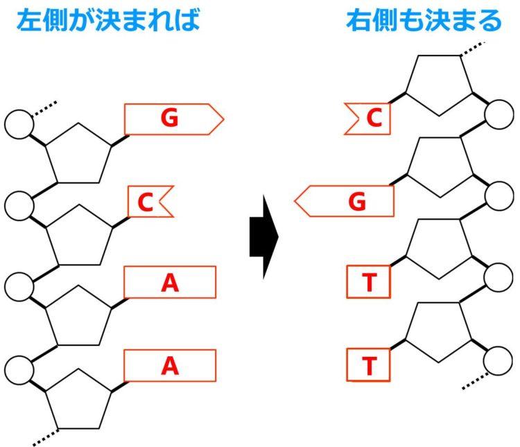 2本のヌクレオチド鎖が描いてある。左側のヌクレオチド鎖の塩基の並びが決まれば、右側のヌクレオチド鎖の塩基の並びも決まる様子が描いてある。