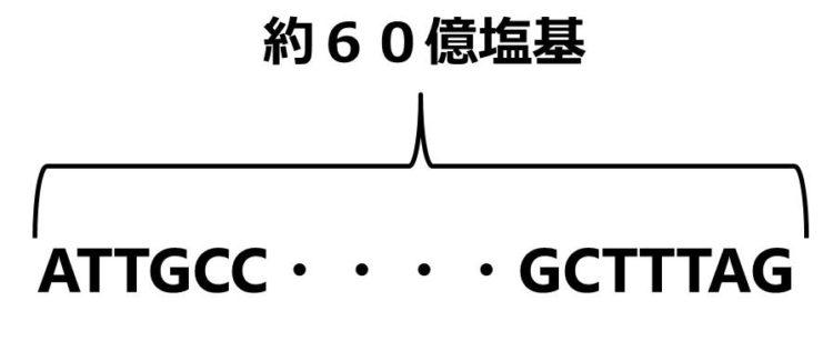 塩基配列がアルファベットで描いてある。途中を省略して、全部で60億塩基あることを描いている。