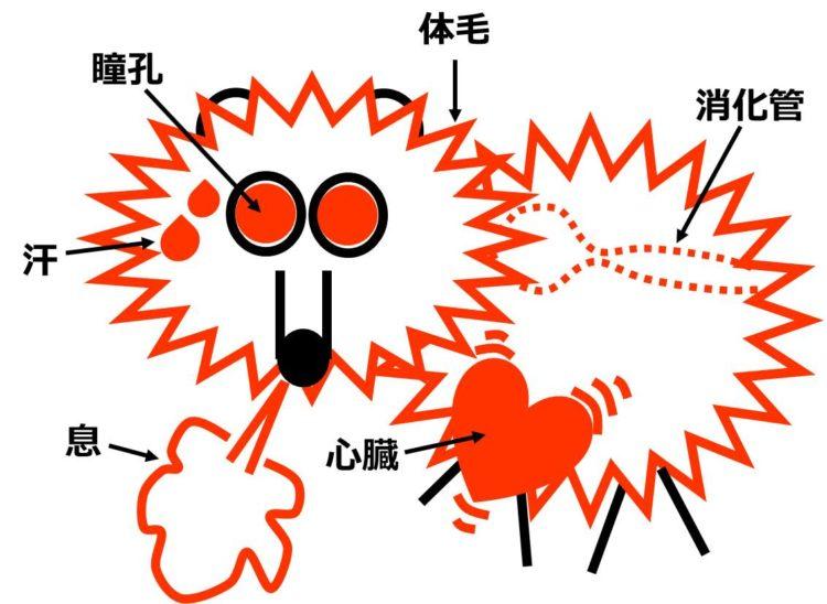 交感神経が働いた時の図