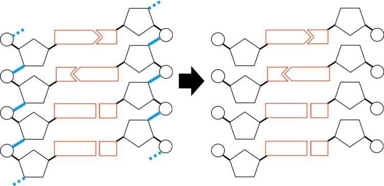 ヌクレオチドが並んで、DNAが構成されていることを描いた図