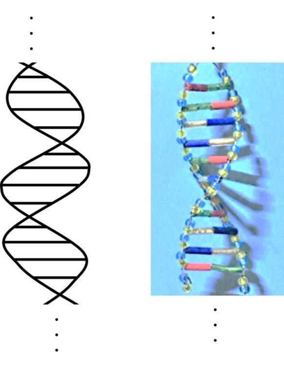 DNAの二重らせん構造。模式図とビーズ模型で示してある。