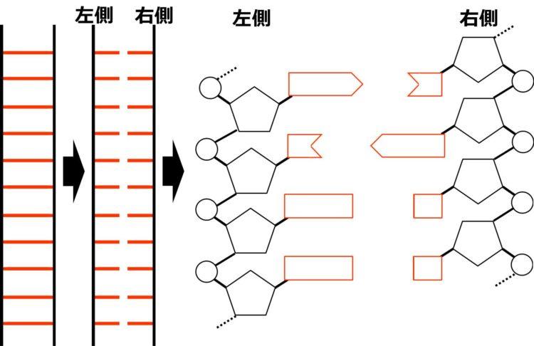 DNAの模式図と、左右に分断して描いた図