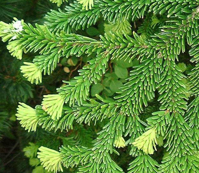 オオシラビソの葉の写真