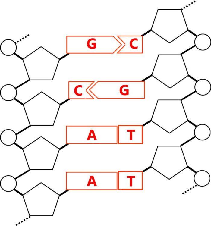 塩基対の例を示した図。GとC、AとTが結合している様子を描いてある。