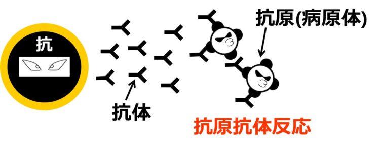 抗原抗体反応の図。抗体が病原体に複数個くっついている。