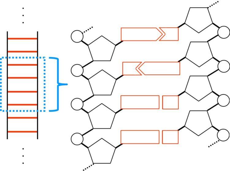 DNAがヌクレオチドで構成されていることを描いた図。