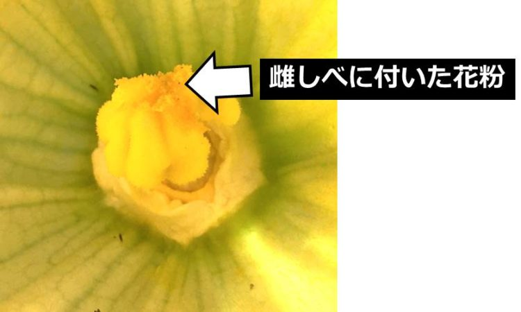 雌しべ先端に花粉がついている様子の写真